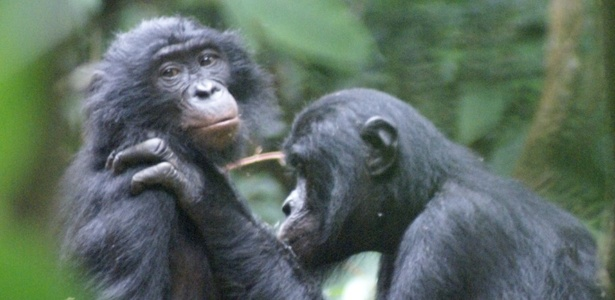 Bonobo macho Jack corteja a fêmea Susi no parque Nacional Salonga, na República Democrática do Congo, na África