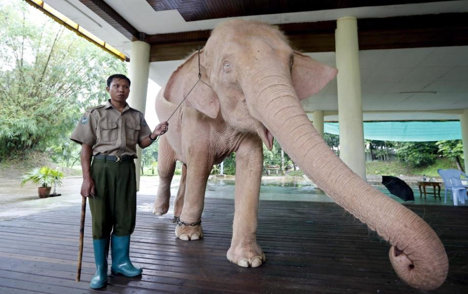 15.jul.2013 - Elefanta branca cumprimenta visitantes do Jardim Real do Elefante Branco, nos arredores de Yangon (Mianmar). O animal recebe banho todo dia às 7h e faz um breve passeio antes de ser colocado à mostra para turistas em um pavilhão por nove horas. A foto, tirada no dia 2 de julho, foi disponibilizada nesta segunda-feira (15)