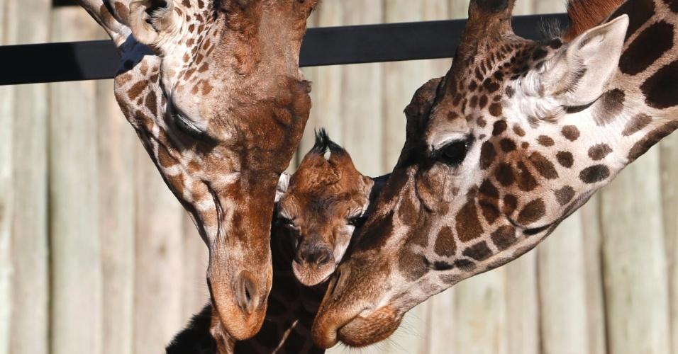 16.jul.2013 - Filhote de girafa de seis dias recebe carinho do pais em zoológico de Buenos Aires, na Argentina