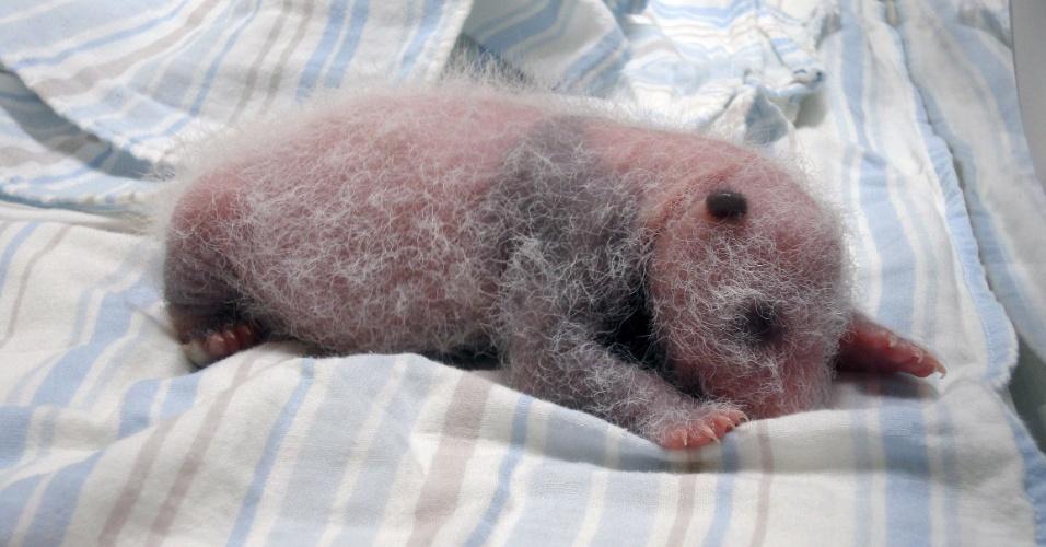 17.jul.2013 - Em foto divulgada pelo zoológico de Taipei, em Taiwan, filhote de panda gigante nascido em 6 de julho deita em uma incubadora. O público terá que esperar três meses para ver o primeiro panda nascido no zoológico