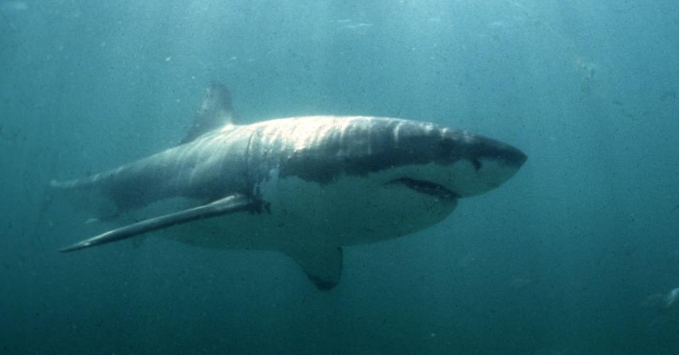 17.jul.2013 - O tubarão branco não tem uma bexiga natatória para controlar a flutuação necessária para longas viagens. Por isso, esse grande predador acumula gordura no fígado que ajuda a neutralizar o peso do seu corpo na água, como também como uma boa fonte de energia para nados migratórios. Segundo estudo da Universidade de Stanford, nos Estados Unidos, um fígado de tubarão branco de 456 quilos, contendo 400 litros de óleo, pode fornecer até 50 quilos de empuxo