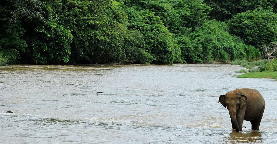 24.jul.2013 - Elefante caminha em rio no Orfanato para Elefantes de Pinnawela, nesta quarta-feira (24), no Sri Lanka