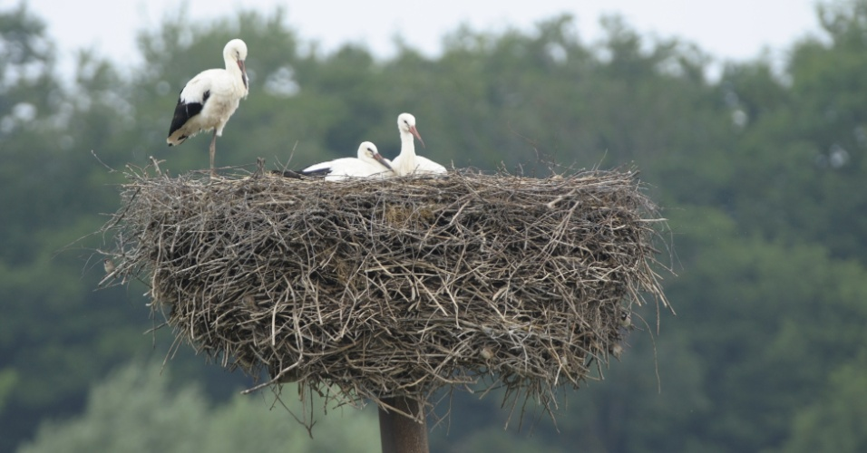 24.jul.2013 - Três cegonhas recém-nascidas descansam no ninho, nesta quarta-feira (24), no zoológico Sainte-Croix, em Rhodes, na França