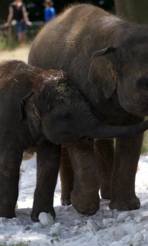 25.jul.2013 - Filhotes de elefantes se refrescam do color em gelo colocado em seu recinto no zoológico Whipsnade, em Bedfordshire, na Inglaterra, nesta quinta-feira (25)