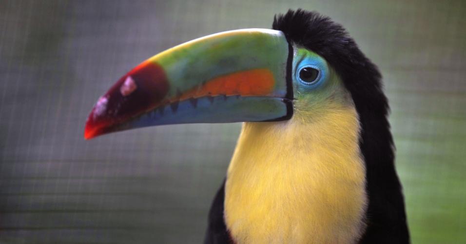 1.ago.2013 - O governo da Costa Rica vai fechar seus dois zoológicos estatais - o Parque Zoológico Simón Bolívar, na capital San José, e o Centro de Conservação, em Santa Ana - no ano que vem e transformá-los em jardins botânicos. A intenção é eliminar o conceito de animais enjaulados e oferecer novos espaços de parques naturais. O tucano (acima) assim como os cerca de 400 animais serão transferidos para centros de tratamento ou zoológicos privados