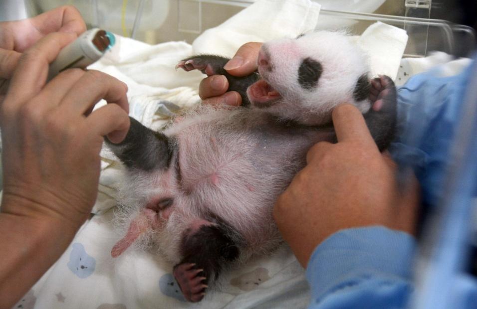 5.ago.2013 - Médicos examinam com ultrassom filhote de panda nascido em 6 de julho, em Taipé (Taiwan)