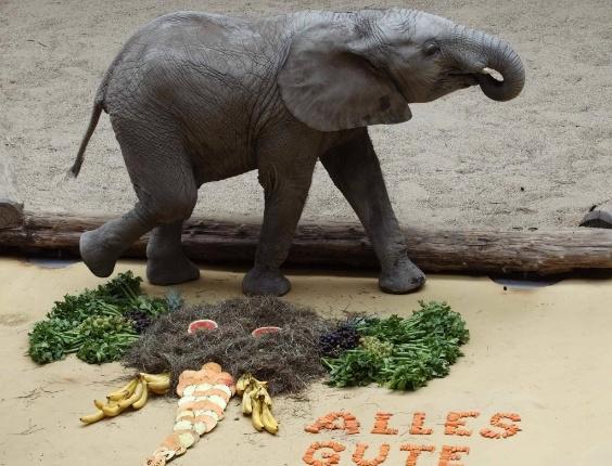 """6.ago.2013 - Elefante Tuluba, que nasceu no zoológico de Schoenbrunn, em Viena, Áustria, passa por um bolo feito de feno e frutas para comemorar seu terceiro aniversário. A frase diz: """"Tudo de bom"""""""