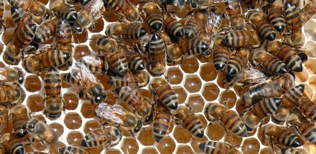 O mel e a água são os dois ingredientes básicos do hidromel; na foto, abelhas depositam o mel em favos