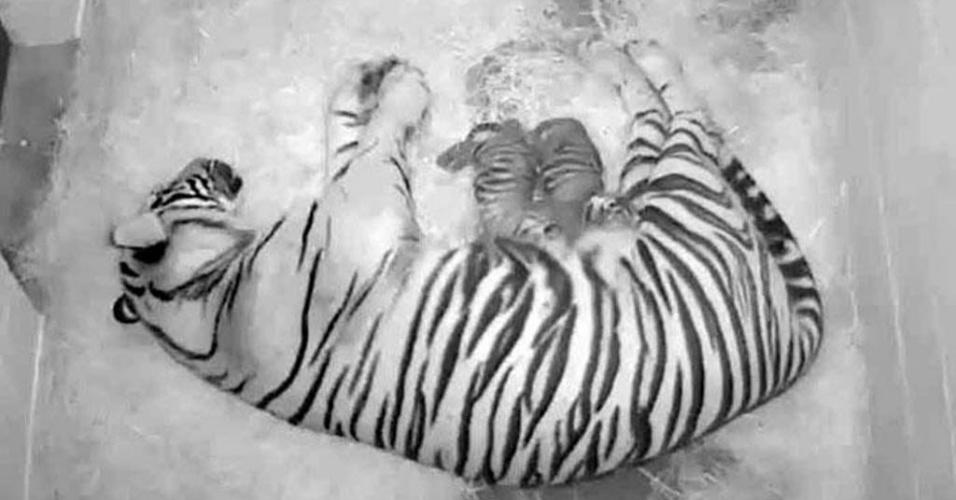 """8.ago.2013 - Fêmea de tigre da Sumatra chamada """"Damai"""", de 12 anos, deita com seus dois filhotes que nasceram na segunda-feira (5), em imagem de vídeo divulgada pelo zoológico nacional Smithsonian, em Washington, nos Estados Unidos"""