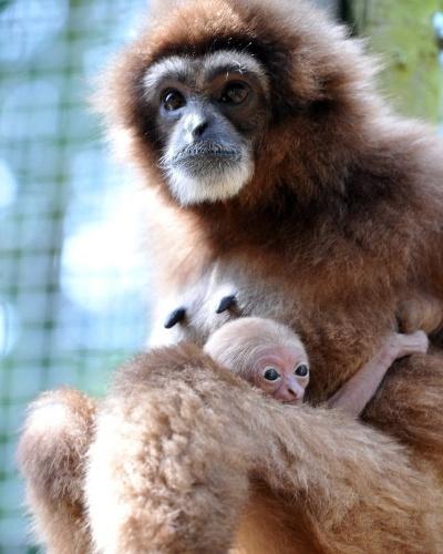 8.ago.2013 - Macaca gibão segura filhote de duas semanas de idade no zoológico de Ulm, na Alemanha
