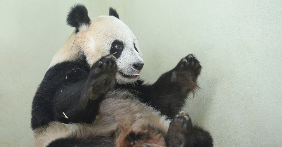9.ago.2013 - A panda gigante Tian Tian brinca em seu recinto no zoológico de Edimburgo, na Escócia, nesta sexta-feira (9). O parque escocês anunciou hoje que a única fêmea que vive em cativeiro no Reino Unido pode estar grávida -  além de significativas mudanças no comportamento, os níveis de hormônios e proteínas sugerem que ela esteja esperando um filhote -, mas isso só será confirmado pouco antes de Tian Tian dar à luz, o que deve levar um mês