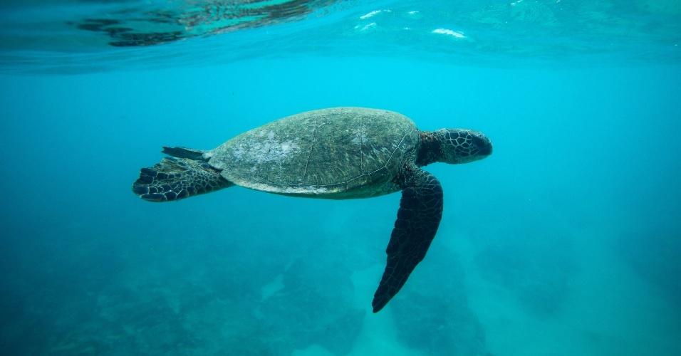 12.ago.2013 - Ameaçadas de extinção, as tartarugas marinhas estão ingerindo cada vez mais detritos e plástico do que há 30 anos, mostra estudo da Universidade de Queensland, na Austrália. O material pode ser letal, já que matam os animais marinhas ao bloquear seus estômagos e deixá-los famintos ou, então, ao perfurar seus intestinos