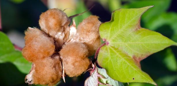 Espécie de algodão colorido produzido no interior da Paraíba