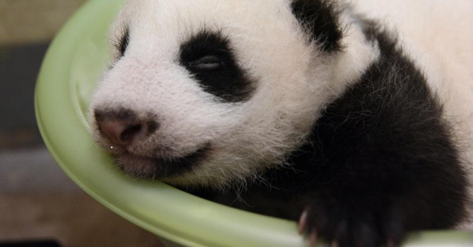 18.ago.2013 - Filhote de panda gigante recém-nascido abre os olhos pela primeira vez no zoológico de Taipei, em Taiwan