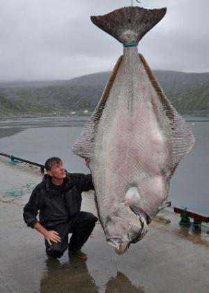 19.ago.2013 - Um pescador alemão quebrou o recorde mundial ao capturar o um alabote gigante. Usando apenas linha e vara de pescar, ele capturou o peixe de mais de 234 kg. O pescador, Marco Liebenow, chegou a pensar que a linha tinha enganchado em um tipo de submarino