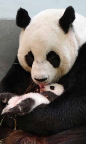 20.ago.2013 - Panda gigante Yuan Yuan lambe seu filhote no zoológico de Taipé (Taiwan) em imagem divulgada nesta terça-feira (20)
