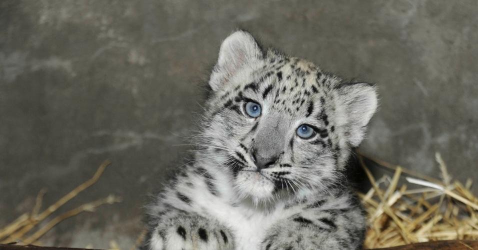 23.ago.2013 - Filhote de leopardo branco fica em exposição no jardim zoológico de Brookfield, Estados Unidos