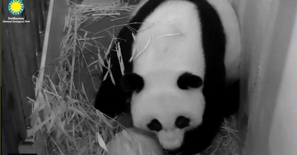 23.ago.2013 - Uma panda gigante deu à luz nesta sexta-feira um filhote no Zoológico Nacional Smithsonian, em Washington, nos Estados Unidos, embora não esteja imediatamente claro quem poderia ser o pai