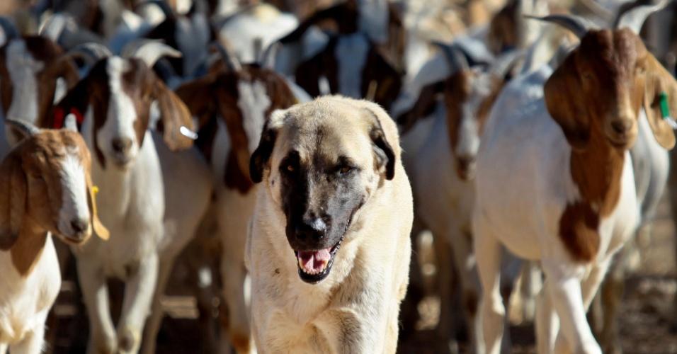 3.set.2013 - Bonzo cuida das cabras da fazenda de Retha Joubert, em Gobabis, no Leste da Namíbia, há cinco anos. O cão pastor foi criado desde o início com o rebanho, vivendo e dormindo com eles, para criar vínculos e, assim, protegê-los dos predadores selvagens. O método ajudou não só os produtores rurais, que não perdem mais animais, mas também a população dos guepardos, que antes eram expulsos de seus territórios - cerca de mil guepardos eram abatidos por ano pelos produtores rurais