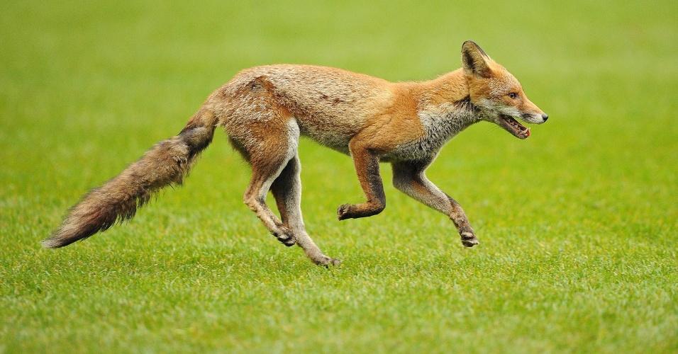 5.set.2013 - Cerca de dez mil raposas vivem nos parques e nas ruas de Londres, que corresponde a um terço das raposas 'urbanas' do Reino Unido, segundo recente pesquisa da Universidade de Bristol, na Inglaterra. E sete em cada dez londrinos (70% dos entrevistados) já admitiram ter visto uma raposa saltitante na capital britânica no período da última semana. Para ambientalistas, isso significa risco aos animais, já que a expectativa de vida cai de 14 anos dos que estão em cativeiro para não mais do que 2 anos das espécimes urbanas