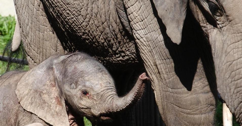5.set.2013 - Filhote de elefante fêmea ainda sem nome fica próximo à sua meio-irmã, Mongu, em seu gabinete no zoológico Schoenbrunn, em Viena, na Áustria, nesta quarta-feira (5). O elefante nasceu na quarta-feira (4), após 645 dias de gestação de sua mãe Tonga, após uma inseminação artificial de esperma retirado de um elefante selvagem na África do Sul