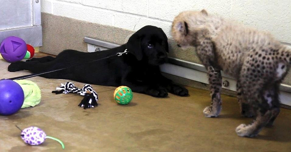 6.set.2013 - Kamau, um filhote da chita, cumprimenta Amani um filhote de labrador no zoológico de Dallas, no Texas