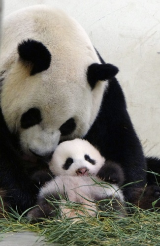 15.set.2013 - A panda gigante