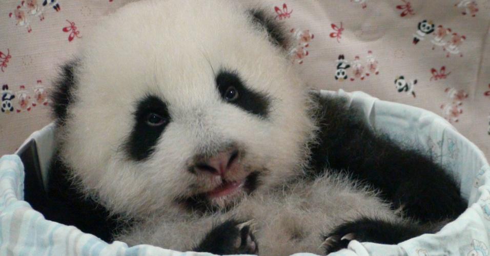 15.set.2013 - 'Yuan Zai' é o primeiro filhote de panda nascido em Taiwan. O animal foi concebido no último dia 7 de julho graças a um procedimento de inseminação artificial na fêmea Yuan Yuan, que vive no zoológico de Taipei