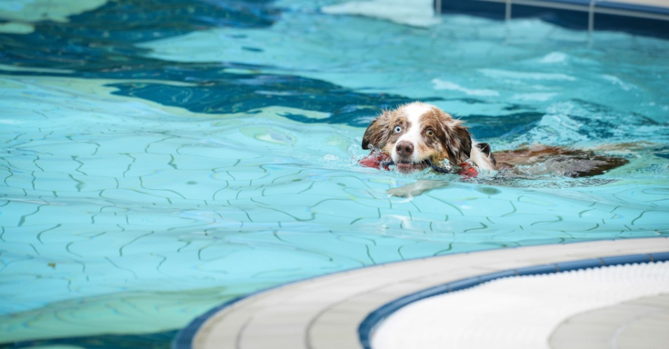 21.set.2013 - Um cachorro  nada em uma piscina durante o ?Dia do Banho Canino? comemorado em uma piscina pública na cidade de Bamberg, no sul da Alemanha. Neste dia, a piscina da cidade fica aberta exclusivamente para os animais