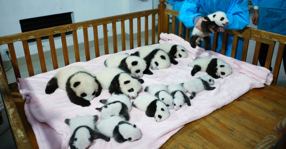 23.set.2013 - Criadores de panda colocam filhotes em berço na base de pesquisa de Chengdu, na China