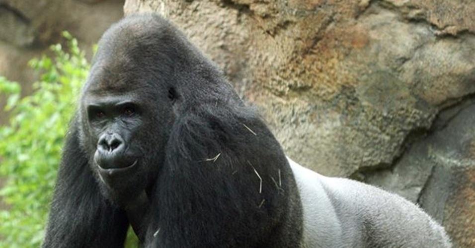 """23.set.2013 - O zoológico de Dallas anunciou que vai enviar Patrick, um gorila de 23 anos, para outra instituição nos Estados Unidos. Mesmo sendo uma das atrações do parque, já que se dá bem com humanos, o macho de quase 200 kg é bastante agressivo com os outros animais do recinto, em especial com as fêmeas. Ele vai viver no Zoológico e Jardins Riverbanks, na Carolina do Sul, que é conhecido por """"tratar"""" gorilas com problemas de comportamento"""