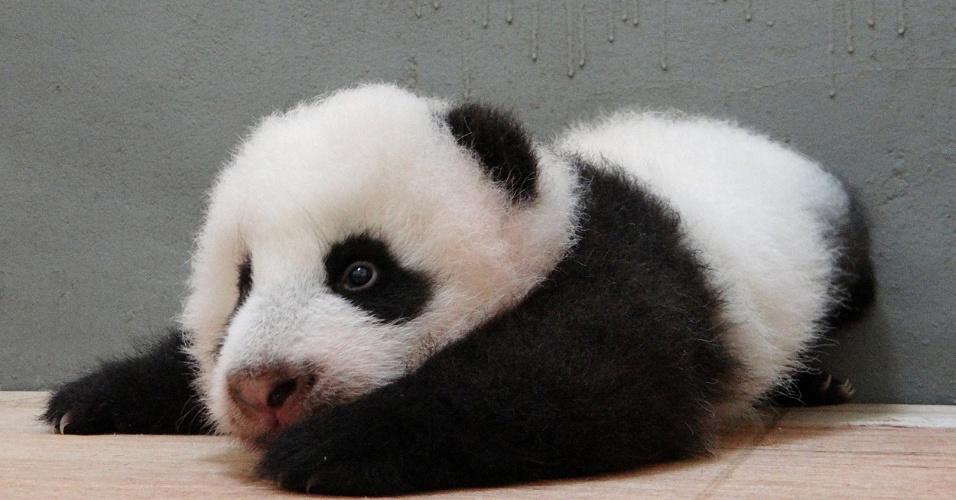 25.set.2013 - Filhote de panda gigante, nascido em 7 de julho, é fotografado no zoológico de Taipé, em Taiwan. Ele é filho da panda Yuan Yuan e do panda Tuan Tuan, por meio de inseminação artificial