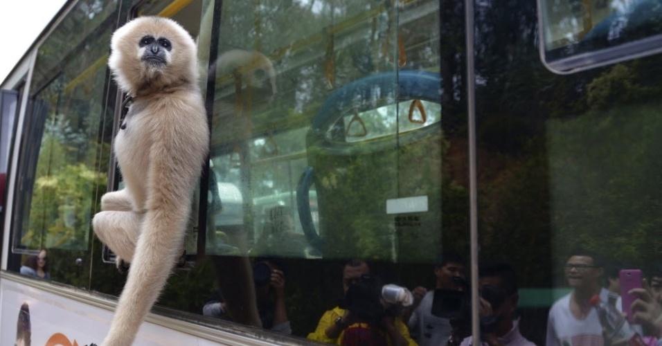 26.set.2013 - Um gibão chamado Lele olha para fora de ônibus que leva visitantes para o parque da vida selvagem Yunnan, em Kunming, na província de Yunnan, na China. Uma nova linha de ônibus que faz viagens para o parque iniciou uma operação teste na quarta-feira (25) e contou com a presença de alguns animais