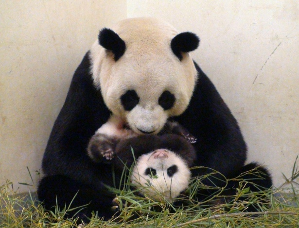 26.set.2013 - Yuan Zai, filhote de panda gigante nascido em 7 de julho, brinca com a mãe no zoológico de Taipé (Taiwan). Ele é filho dos pandas Yuan Yuan e Tuan Tuan e nasceu por meio de inseminação artificial