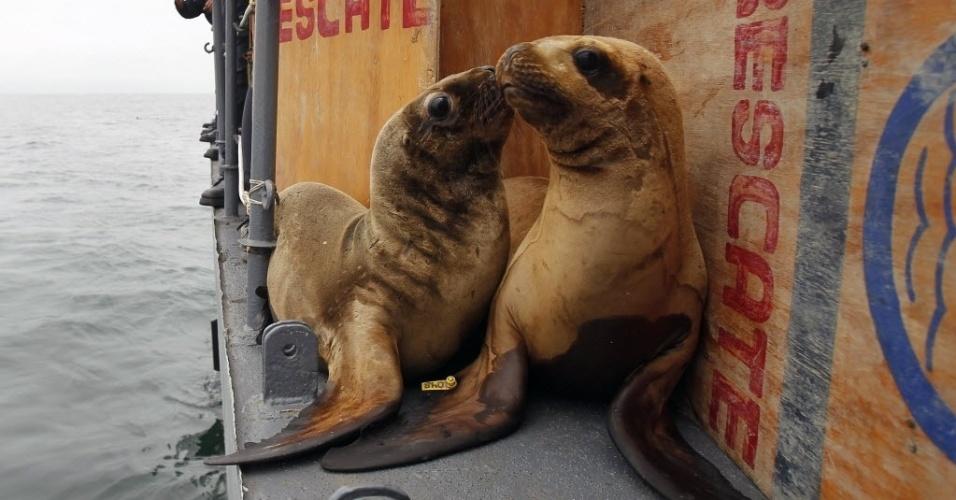 28.set.2013 - Os leões-marinhos Rocky (e) e Arya se preparam para mergulhar nas proximidades da ilha de Palomino, no Peru, na última sexta-feira (27). A organização de defesa dos direitos doa animais marinhos Orca libertou seis animais da espécie, que foram tratados por até quatro meses após serem encontrados feridos na praia