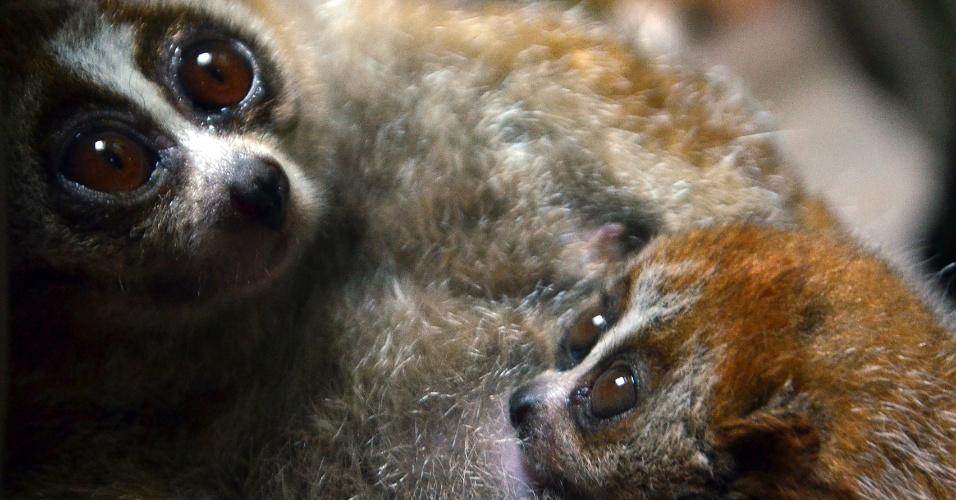 """30.set.2013 - Ameaçado de extinção pela captura ilegal, o slow loris (""""Nycticebus spp."""") é o único primata venenoso do mundo e uma das sete espécies de mamíferos venenosos conhecidas pelos cientistas. A partir de uma postura defensiva, com os braços levantados, ele produz um veneno potente ao combinar o fluido de sua glândula braquial com saliva. A mistura tóxica é aplicada à parte superior da cabeça para afastar os invasores ou mantida na boca para administrar uma mordida afiada e dolorosa. O veneno causa anafilaxia (morte por asfixia) em pequenos animais e até nos seres humanos, ressalta artigo de revisão publicado no """"Journal of Venomous Animals and Toxins including Tropical Diseases"""" do Centro de Estudos de Venenos e Animais Peçonhentos da Unesp (Universidade Estadual Paulista)"""