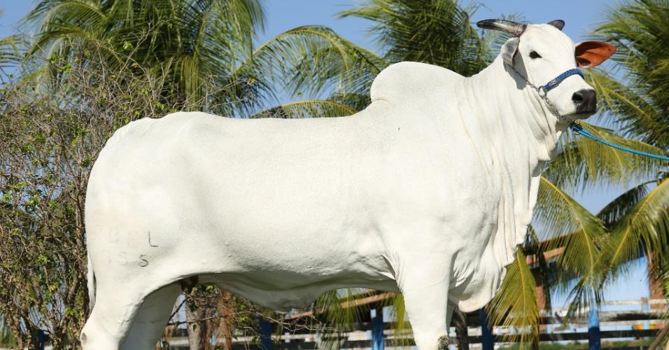 Hoje, o gado de Zezé Di Camargo é composto por 500 matrizes e 10 doadoras (as vacas que doam óvulos para as matrizes reproduzirem) que produzem 350 bezerros por ano