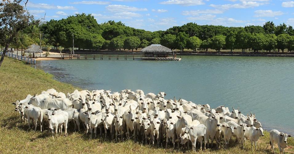 O projeto para entrar no ramo da alta genética foi feito pelo zootecnista Murilo Canedo, que cuida da fazenda de Zezé Di Camargo desde o começo. Os dois compraram os primeiro exemplares de pura origem em 2004