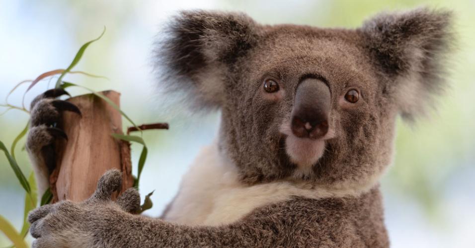 4.out.2013 - Símbolo do país, o coala corre risco de desaparecer com a escalada da temperatura na Austrália, mostra estudo da Universidade de Sydney. As árvores grandes e maduras com folhagens densas são fundamentais para sua sobrevivência, pois, em eventos de extremo calor durante o dia, o marsupial tende a escalar essas árvores maiores para se refrescar. O problema, dizem os estudiosos, é que o calor pode causar grandes incêndios florestais e destruir esses abrigos dos animais