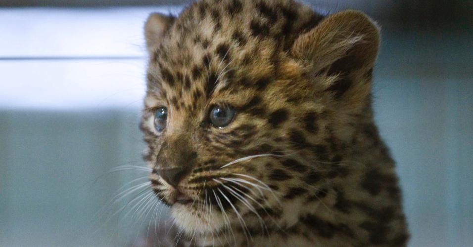 9.out.2013 - Um filhote de leopardo Amur é apresentado no zoológico Tete-d'Or, em Lyon, na França. O animal, que está em extinção, nasceu há dois meses
