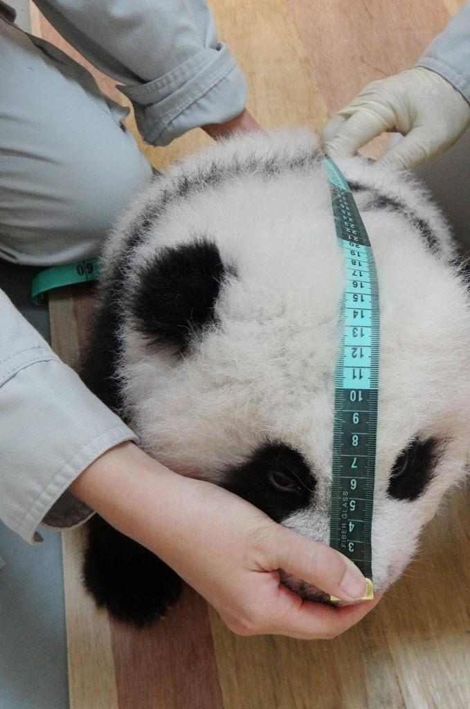 14.out.2013 - Funcionário mede o filhote de panda Yuan Zai no zoológico de Taipei, em Taiwan. Nascido em 7 de julho, ele é o primeiro panda a nascer no país após sessões de inseminação artificial