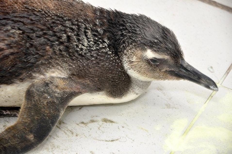 16.out.2013 - Um pinguim de Magalhães foi encontrado por um guarda-vidas na tarde desta terça-feira (15), na praia do Itararé em frente à Pedra da Feiticeira, em São Vicente, no litoral de São Paulo. Este é o segundo animal dessa espécie que é resgatado em menos de um mês na cidade.