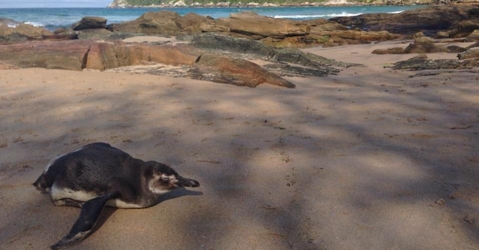 18.out.2013 -Pinguim é encontrado em praia de Bombinhas, no litoral de Santa Catarina. Bem comuns na região, este pinguim estava no lugar desde quarta-feira (16), então a polícia ambiental foi acionada para fazer o resgate, segundo informações do guarda local. Ele informou que levaria o pinguim para casa e depois o conduziria para Florianópolis
