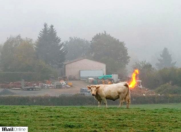 6.nov.2013 - O que será que ela comeu? Parece, mas o fogo não está saindo da vaca