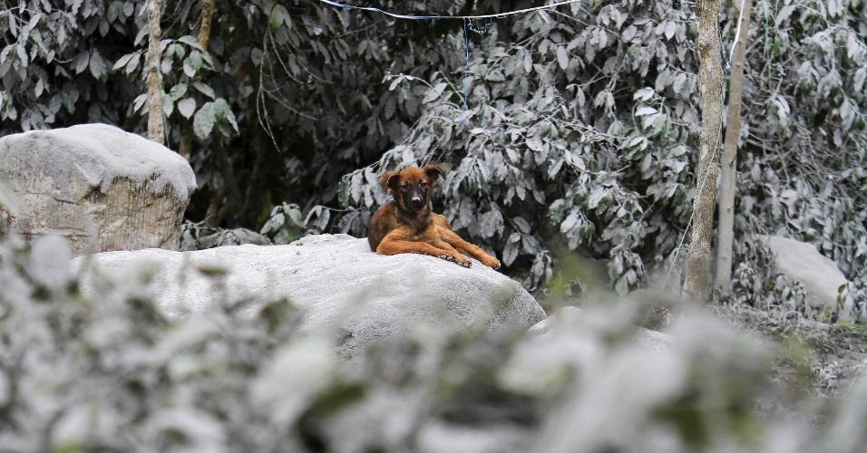 6.nov.2013 - Um cão senta-se sobre  rochas cobertas de cinzas na Mardingding aldeia no distrito de Karo, Indonésia. O vulcão Monte Sinabung entrou em erupção no domingo (3), provocando a evacuação de mais de mil pessoas
