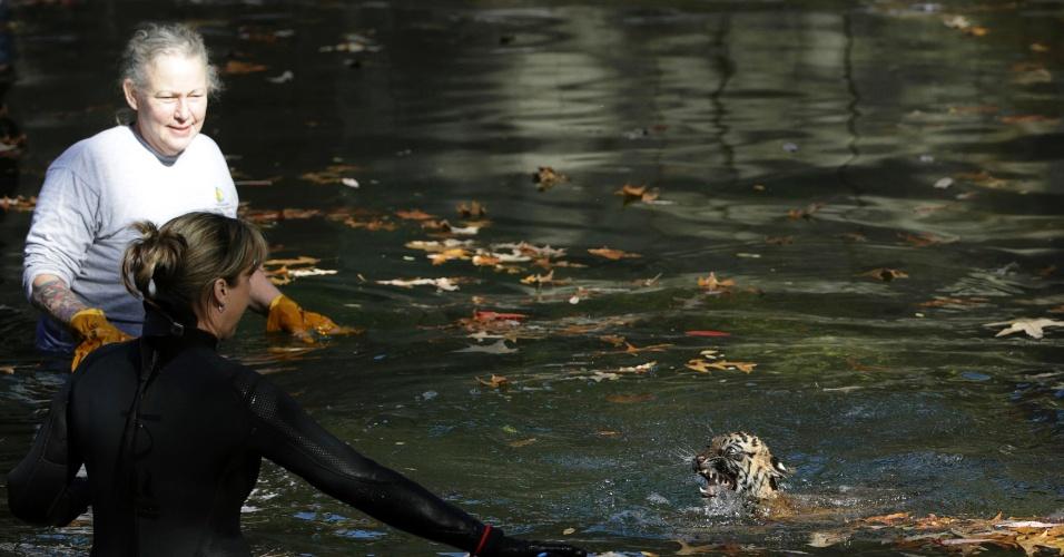 6.nov.2013 - Um tigre-de-sumatra chamado Bandar nada em um fosso no Zoológico Nacional de Washington (EUA) monitorado por tratadores. Dois filhotes nascidos em agosto tiveram de provar que têm a capacidade de manter a cabeça acima da água, navegar na parte rasa do fosso e retornar à terra sem ajuda
