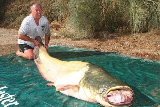 13.nov.2013 - Um britânico pescou um peixe albino de 94 quilos durante pescaria no rio Ebro, na Espanha, e espera reconhecimento pela quebra do recorde. O maior peixe da espécie já pescado tinha 88,9 quilos