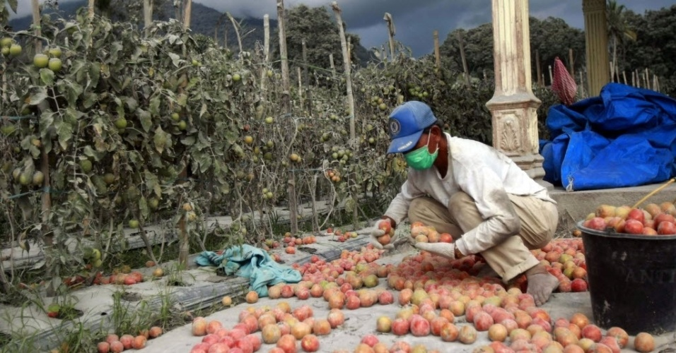 18.nov.2013 - Agricultor recolhe tomates em Karo, na ilha indonésia de Sumatra, horas depois de nova erupção do vulcão Sinabung. Mais de 1.500 pessoas tiveram que ser evacuadas na Indonésia devido à erupção do Sinabung e do vulcão Merapi, em Java