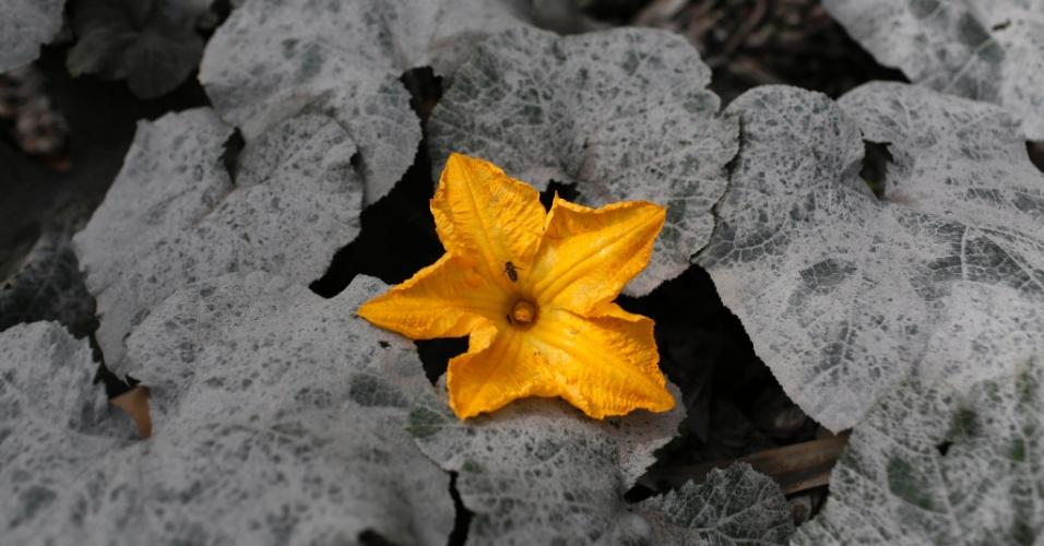 26.nov.2013 - Flor desabrocha junto a folhas cobertas pelas cinzas do vulcão Sinabung, em aldeia no distrito de Karo Sukanalu, em Sumatra, Indonésia