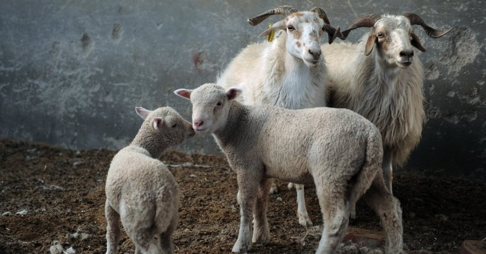 28.nov.2013 - Dois cordeiros concebidos em proveta e duas ovelhas são fotografados em centro de experimentação de tecnologia agropecuária na região tibetana de Haibei, noroeste da província de Qinghai, na China. Os cordeiros de proveta produzidos com nova tecnologia celebraram um mês de vida.O experimento obteve êxito ao gerar ovelhas Dorset puro-sangue a partir de ovelhas tibetanas. A técnica, que reduziu o ciclo de reprodução, deve ser usada para a produção e introdução de novas raças